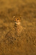 Endangered Cheetahs Art - A Young Cheetah Sitting In Grass by Roy Toft