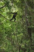 Senegal Prints - A Young Chimpanzee Grips A Limb Print by Frans Lanting