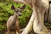 Point Lobos Reserve Framed Prints - A Young Deer In A Grove Of Rare Framed Print by Charles Kogod