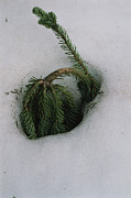 Snow Scenes Prints - A Young Evergreen Tree Doubled Print by Melissa Farlow