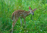 Morning Flower Prints - A young fawn 8292 2801 Print by Michael Peychich