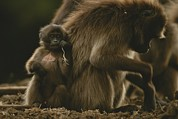 Monkeys Prints - A Young Gelada, Theropithecus Gelada Print by Michael Nichols