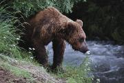 Brooks Photos - A Young Grizzly Bear Ursus Arctos by Paul Nicklen