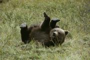 Juvenile Mammals Posters - A Young Grizzly Rolls Over Into An Poster by Michael S. Quinton