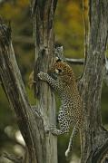 Felines Tapestries Textiles - A Young Leopard Practices Her Hunting by Beverly Joubert