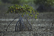 Mangrove Trees Photos - A Young Mangrove Tree by Klaus Nigge