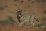 Wildcats Posters - A Young Mountain Lion Walks In A Desert Poster by Norbert Rosing