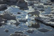 Bears Island Photos - A Young Polar Bear Carefully Navigates by Paul Nicklen