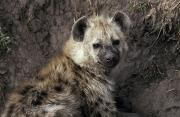 Fur Coat Framed Prints - A Young Spotted Hyena Pup Rests Framed Print by Jason Edwards