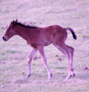 Young Horses Photos - A Young Spring Colt  by Jeff  Swan