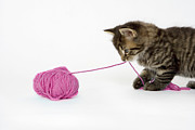 Animal Behavior Metal Prints - A Young Tabby Kitten Playing With A Ball Of Wool. Metal Print by Nicola Tree
