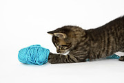 Domestic Animals Posters - A Young Tabby Kitten Playing With Wool. Poster by Nicola Tree