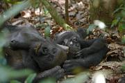 Sleeping Animals Prints - A Young Western Lowland Gorilla Lies Print by Ian Nichols