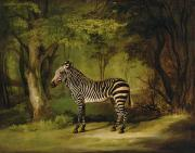 Animal Portrait Paintings - A Zebra by George Stubbs