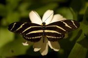 Zebra Butterfly Acrylic Prints - A Zebra-winged Butterfly At The Lincoln Acrylic Print by Joel Sartore