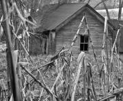 West Fork Photos - Abandoned Farmhouse through Cornfield by Douglas Barnett