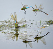 Dragonflies Mating Photos - Above And Below by Fraida Gutovich