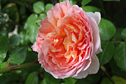Charlene Fuhlendorf - Abraham Darby