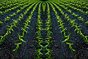 Crop Lines Art - Abstract Baby Corn by Meirion Matthias