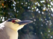 Snowy Night Night Photo Prints - Abstract Crowned Heron Print by Jean Marshall