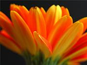 Close Up Floral Prints - Abstract Gerbera Petals Print by Juergen Roth