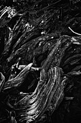 Sequoia Tree Posters - Abstract tree Vl - black and white Poster by Hideaki Sakurai