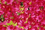 Azalea Bush Photo Prints - Abundant Azaleas Print by Susan Stevenson