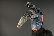 Hornbill Photos - Abyssinian Ground Hornbill Bucorvus by Joel Sartore