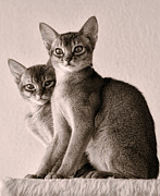 Abyssinian Kittens Print by Ari Salmela