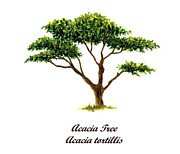 Tree. Acacia Posters - Acacia Tree Number Two Poster by Michael Vigliotti