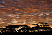 Urban Scenes Art - Acacia Trees At Sunrise by Ralph Lee Hopkins