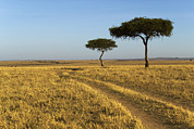 Yellow Prairie Photos - Acacia Trees In The Maasai Mara by Nigel Hicks