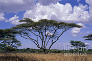Tree. Acacia Posters - Acacia Trees On The Serengeti Plain Poster by Greg Dimijian