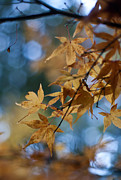 Fall Colors Photos - Acer Autumn by Mike Reid