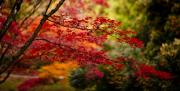 Fall Leaves Prints - Acer Colors Print by Mike Reid