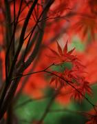 Fall Colors Photos - Acer Fanfare by Mike Reid