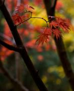 Fall Trees Posters - Acer Finish Poster by Mike Reid