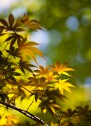 Japanese Photos - Acer Glow by Mike Reid