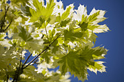 Dappled Light Posters - Acer Platanoides drummondii Poster by Dr Keith Wheeler