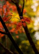 Fall Colors Photos - Acer Silhouette by Mike Reid