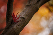 Red Maple Leaves Framed Prints - Acer Soliloquy Framed Print by Mike Reid