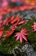 Fall Colors Photos - Acers Fallen by Mike Reid