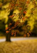 Fall Colors Photos - Acers Turning by Mike Reid