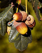 Acorns Photos - Acorn Cluster by Kelley King