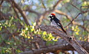 Wildlife Genre Framed Prints - Acorn Woodpecker on a Branch Framed Print by Roena King