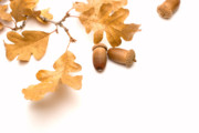 Fallen Leaf Photos - Acorns and Oak Leaves by Utah Images