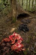 Acorns Photos - Acorns, Black Fungi And Pandanus by Tim Laman