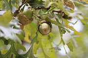 Acorns Photos - Acorns by Douglas Barnard