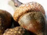 Acorns Photos - Acorns by Lauren Radke
