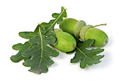 Green Fruits Framed Prints - Acorns with oak leaves Framed Print by Elena Elisseeva